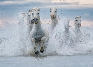 White horses of Camargue.