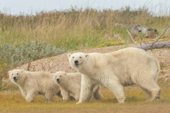 Polar bear family at Nanuk Polar Bear Lodge.