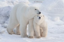 Polar bear Mom and cub at Seal River Heritage Lodge.