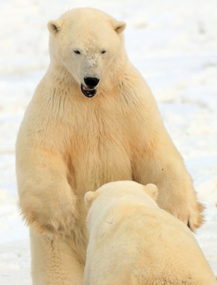 Polar bears sparring at Dymnd Lake Ecolodge.