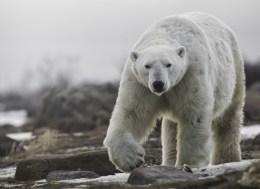 Big polar bear at Seal River Heritage Lodge.