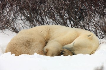 Napping polar bear at Dymond Lake Ecolodge.