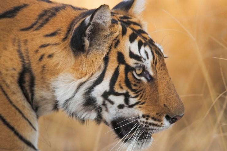 Tiger closeup. Robert Postma photo.