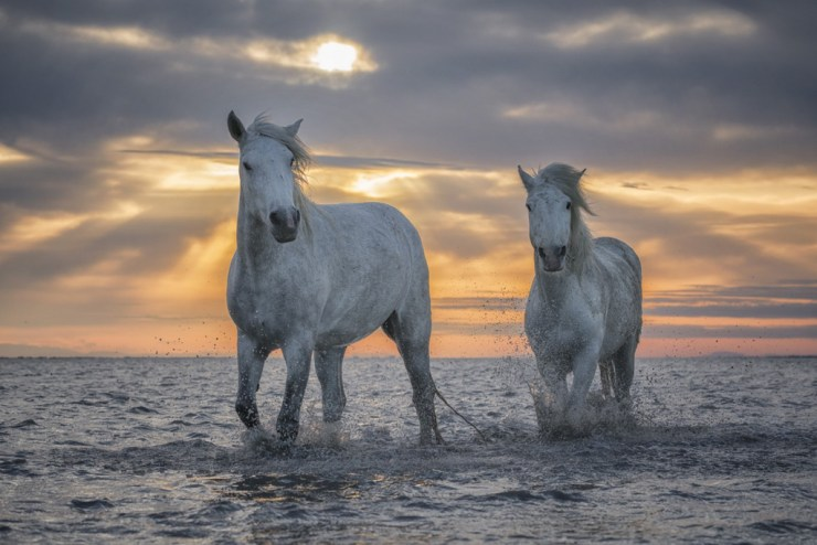 White Horses of Camargue. Robert Postma photo.