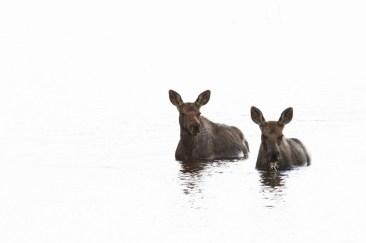 Moose by Robert Postma.