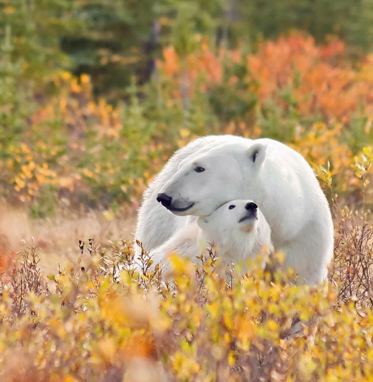Polar bear Mom and cub. Autumn snuggle at Nanuk. Ramona Boone photo.