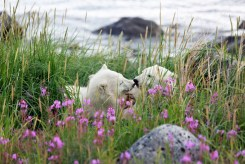 Polar bear cubs playing in grass on shore at Seal River Heritage Lodge.