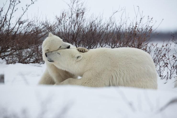 Polar bear cuddle. Mom and cub at Seal River Heritage Lodge. Vikram Sahai photo.