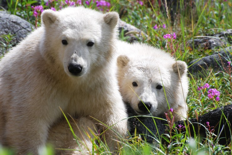 Summer polar cubs at Seal River Heritage Lodge. Allison Reimer photo.