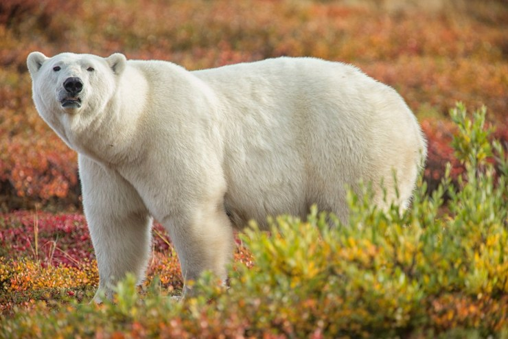 Polar bear in fall colours on the Hudson Bay Odyssey. Robert Postma photo.