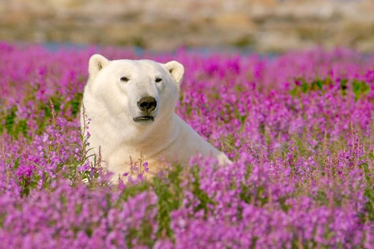 Polar bear in fireweed. Dennis Fast photo