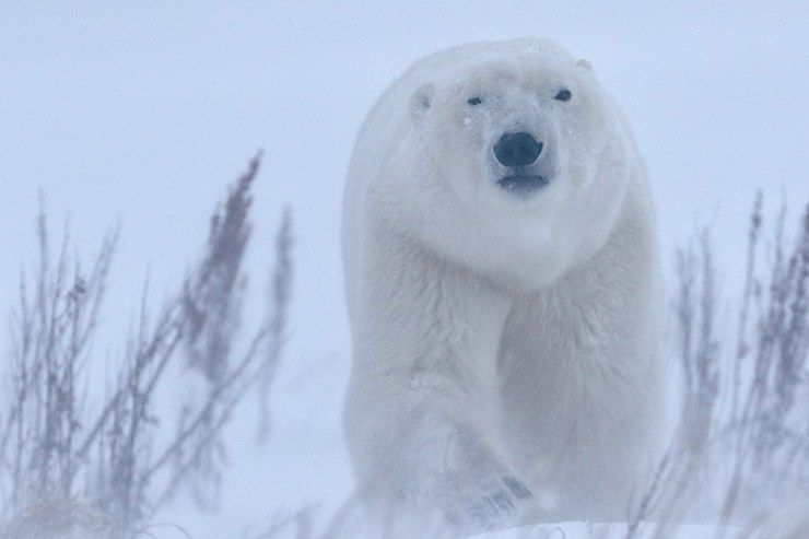 Polar bear emerging from the storm at Dymond Lake Ecolodge. Robert Postma photo.