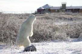 polar-bear-looking-at-seal-river-heritage-lodge-Tiffany-Lacey