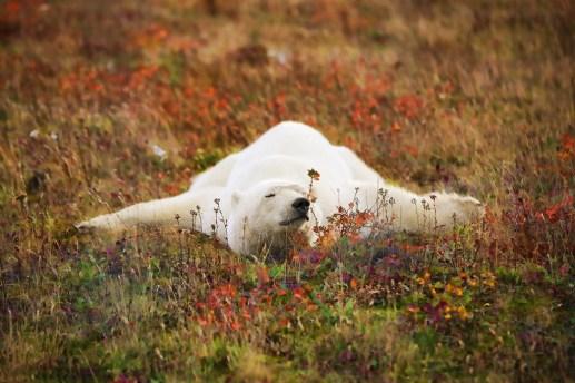 polar-bear-nap-nanuk-polar-bear-lodge