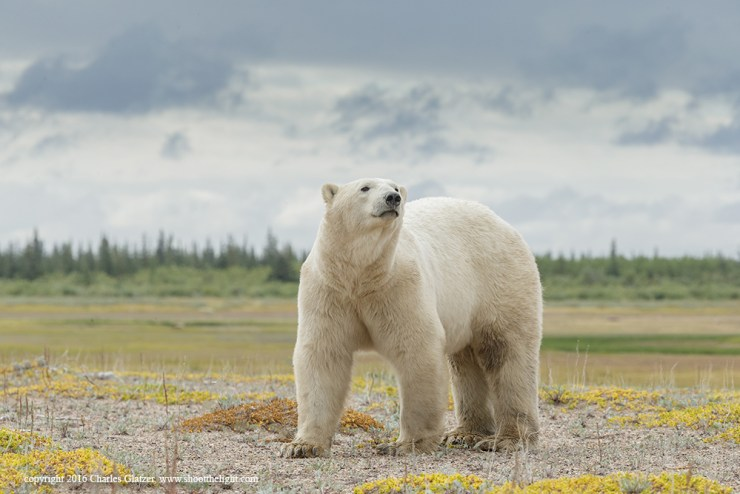 Polar bear at Nanuk Polar Bear Lodge that made the cover of a textbook. Charles Glatzer photo.
