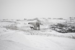 polar-bear-with-arctic-fox-seal-river-heritage-lodge - Copy