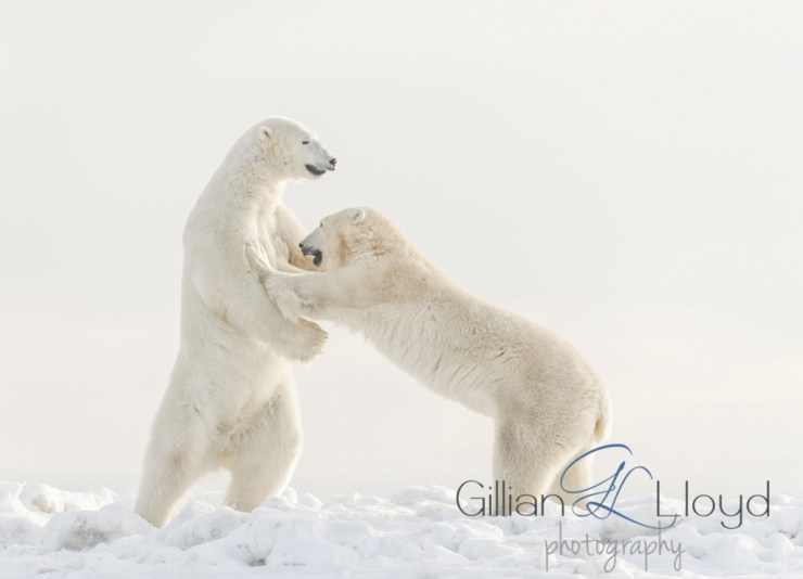 Polar bears sparring at Seal River. Gillian Lloyd photo.
