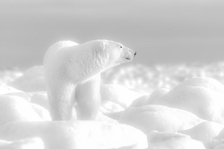 White on white. Polar bear at Seal River Heritage Lodge on the Polar Bear Photo Safari. Dennis Fast photo.