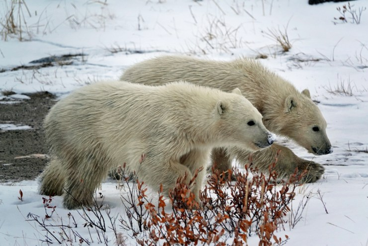 Polar bear cubs on the move at Seal River Heritage Lodge. Haskell Rosenberg photo.