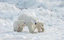 polarbearphotosafari2015glatzer - Copy
