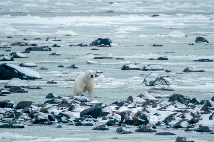 Polar bear makes his way across slushy ice at Seal River. Temujin Johnson photo