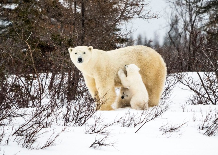 Mom and cubs at Nanuk on the Den Emergence Quest. Virginia Huang photo.
