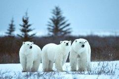3-polar-bears--Nanuk-Polar-Bear-Lodge-Ian-Johnson