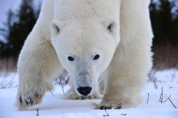 agile-polar-bear-Churchill-Wild-Nanuk-Ian-Johnson