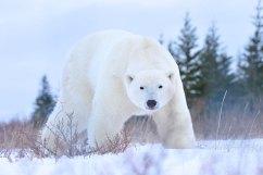 big-healthy-polar-bear-Churchill-Wild-Nanuk-Ian-Johnson