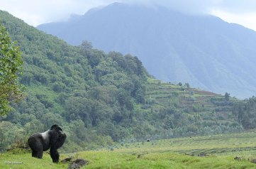 gorilla-Rwanda-Volcanoes-National-Park-Ian-Johnson-contest-finalist