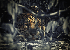 jaguar-brazil-pantanal-Ian-Johnson-Safaris