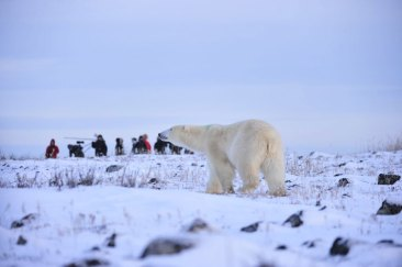 polar-bear-and-guests-Seal-River-Heritage-Lodge-Ian-Johnson