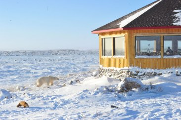 Polar bear and red fox outside Seal River Heritage Lodge in snow.