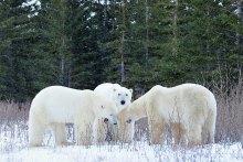 polar-bear-meeting-Churchill-Wild-Nanuk-Ian-Johnson