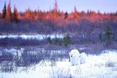 polar-bear-mom-and-cub-fall-colours-Nanuk-Polar-Bear-Lodge-Ian-Johnson