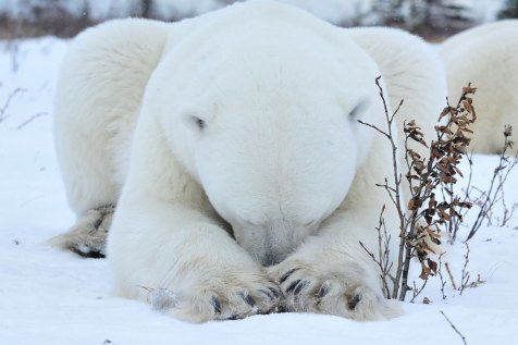 It's going to be one of those days. Polar bear with head between forearms. Nanuk Polar Bear Lodge. Ian Johnson photo.