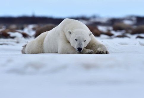 polar-bear-relaxing-Seal-River-Heritage-Lodge-Ian-Johnson