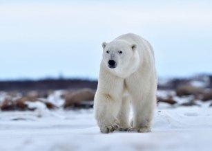 polar-bear-walking-Seal-River-Heritage-Lodge-Ian-Johnson