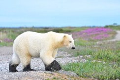 polar-bear-with-muddy-paws-Nanuk-Polar-Bear-Lodge-Ian-Johnson
