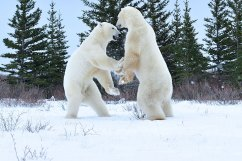 polar-bears-sparring2-Churchill-Wild-Nanuk-Ian-Johnson