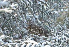 ptarmigan-camouflage-Nanuk-Polar-Bear-Lodge-Ian-Johnson