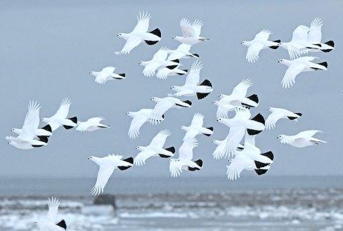 ptarmigan-flock-Seal-River-Heritage-Lodge-Ian-Johnson