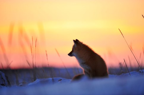 Red fox in soft light at Seal River Heritage Lodge. Ian Johnson photo.