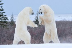 sparring-polar-bears3-Churchill-Wild-Nanuk-Ian-Johnson