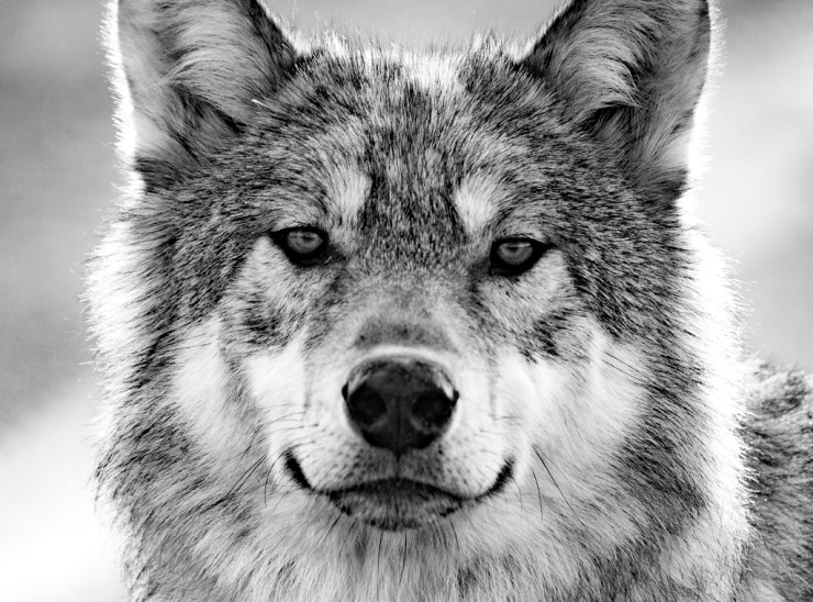 No reason to be afraid. Wolf at Nanuk Polar Bear Lodge.