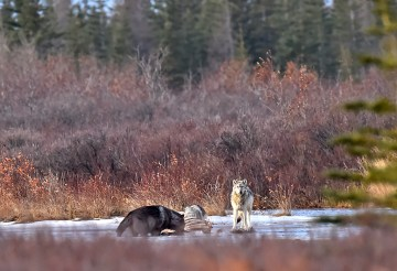 wolves-moose-kill-Nanuk-Polar-Bear-Lodge-Ian-Johnson