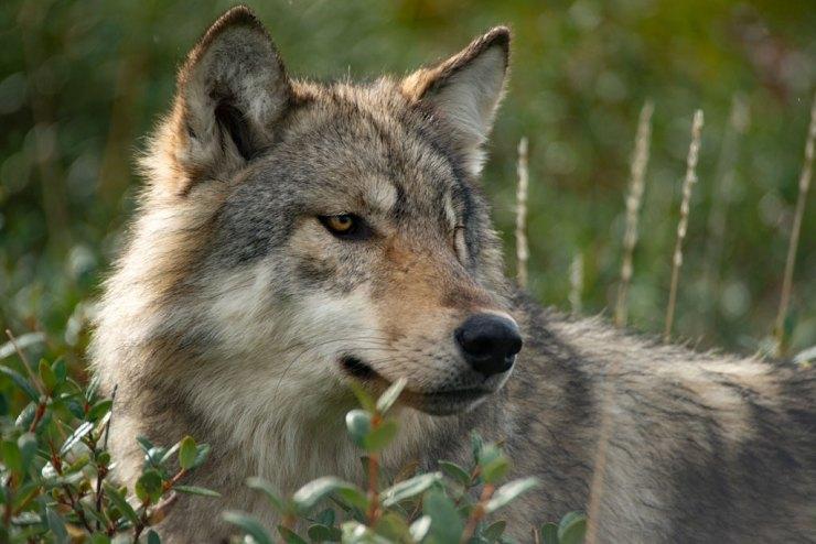 Wolf in the willows. Nanuk Polar Bear Lodge.