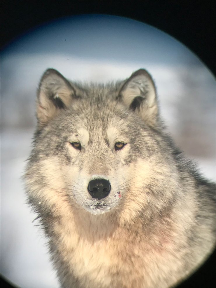 Wolf photographed on an iPhone through the scope at Nanuk Polar Bear Lodge while on the Den Emergence Quest. Jody Steeves photo.