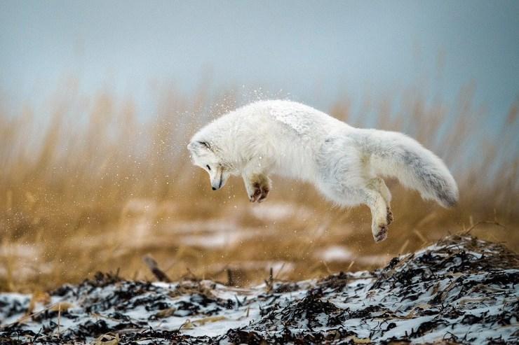 Arctic fox pouncing on the Polar Bear Photo Safari at Seal River Heritage Lodge. Photo by guest Robert Hlavica.