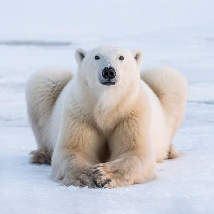 Janet the polar bear. Nanuk Polar Bear Lodge.